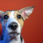 Cómo limpiar las orejas de tu perro