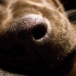 ¿Cómo funciona el olfato de los perros?
