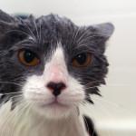 Consejos para bañar a un gato
