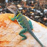 El Gecko Leopardo como mascota