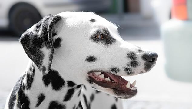Infección de oído en perros