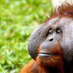 Los orangutanes
