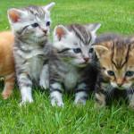 El embarazo en gatos
