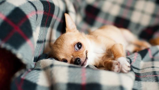Lo que no sabías del Chihuahua
