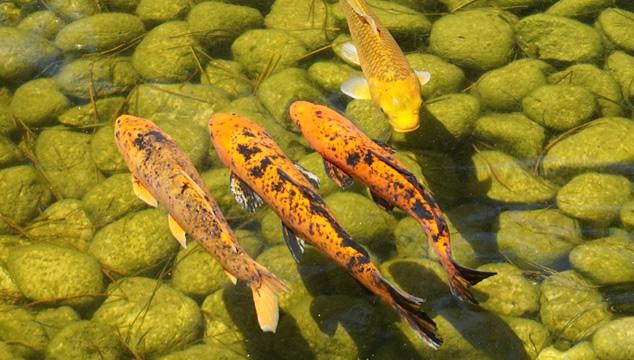 El pez carpa