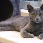 El gato Azul Ruso