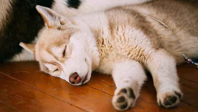 Depresión en perros