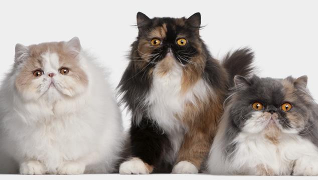 Conoce un poco más del gato Persa