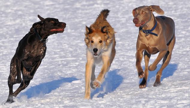 ¿Qué raza de perro debo seleccionar?