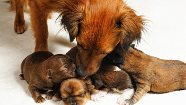 Embarazo en perras