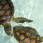 Las tortugas terrestres y acuáticas como mascotas