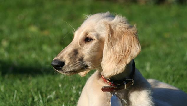¿Cómo puede ayudar la acupuntura a mi mascota?