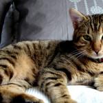 Lo que debes saber sobre el aseo tu gato