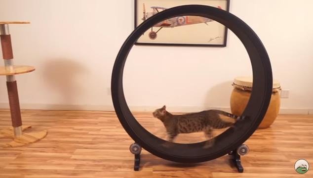 La rueda de ejercicio para gatos