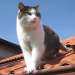 ¿Por qué los gatos siempre caen de pie?