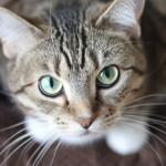 ¿Para qué le sirven a los gatos sus bigotes?