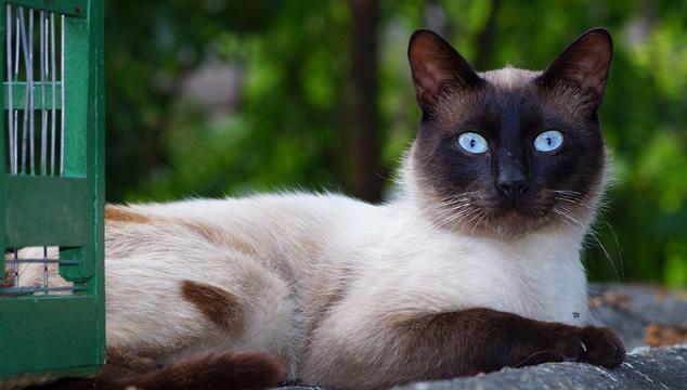 El gato siamés