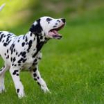 Vocalización en caninos