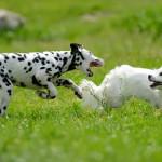 Ventajas y desventajas de tener dos o más perros en casa