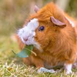 Cómo detectar el embarazo en el conejillo de indias