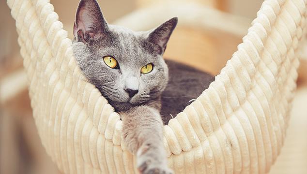 gato-ruso-hamaca