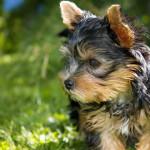 Lo que no sabías del Yorkshire terrier