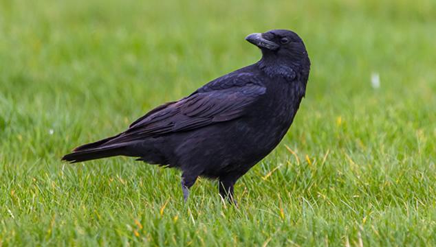 La inteligencia de los cuervos
