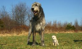 El Lobero irlandés, la raza de perros más grande del mundo