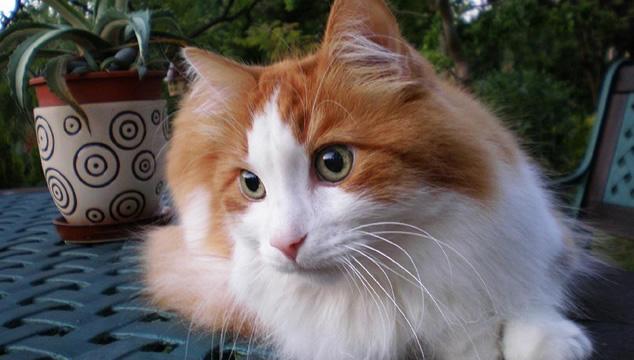 Todo lo que debes saber del gato Angora Turco
