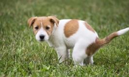 Cómo enseñarle a tu cachorro a hacer sus necesidades en el jardín