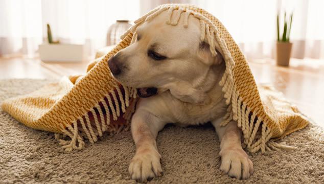 Perro con frazada
