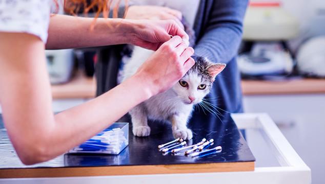 Conoce los síntomas cuando tu mascota tiene una afectación en los oídos