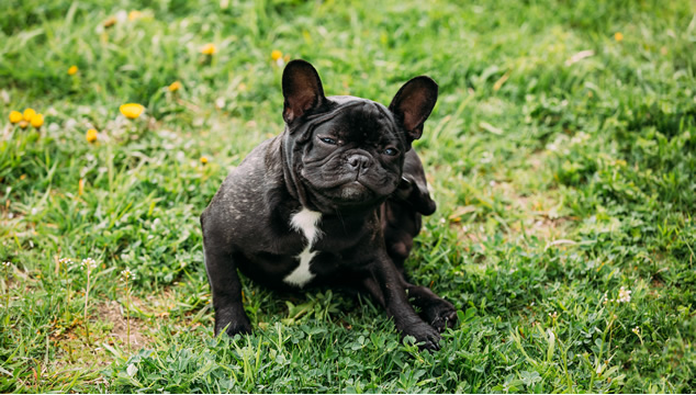 Pulgas en perros