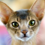 ¿Por qué se le dilatan las pupilas a mi gato?
