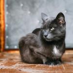 Datos sobre el gato doméstico