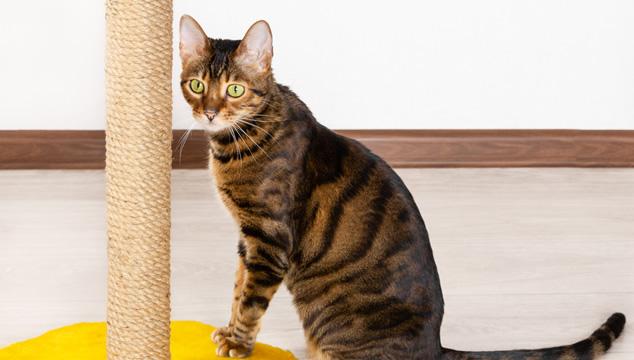 ¿Por qué es importante que los gatos rasquen?