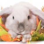 Conoce más sobre el conejo Mini Lop