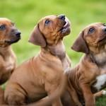¿Debo esterilizar a mi perro o perra?