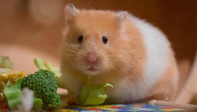 ¿Cómo debo alimentar a mi hámster?