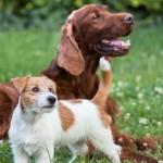 Diferencia entre perros grandes y chicos