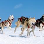 Los perros que parecen lobos