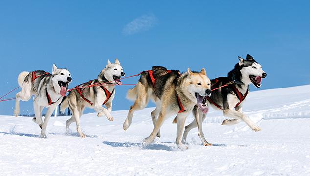 Perros parecidos al lobo