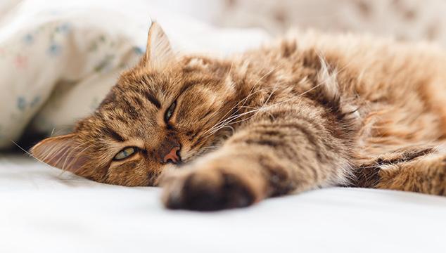 ¿Cómo se le pueden pegar las lombrices a mi gato?