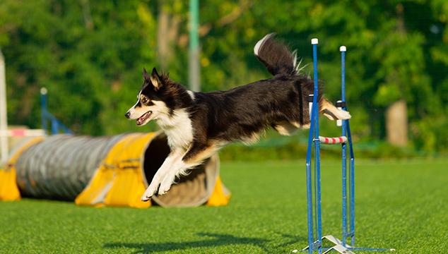 ¿Qué es el dog agility?