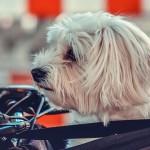Las mejores formas de transportar a tu mascota