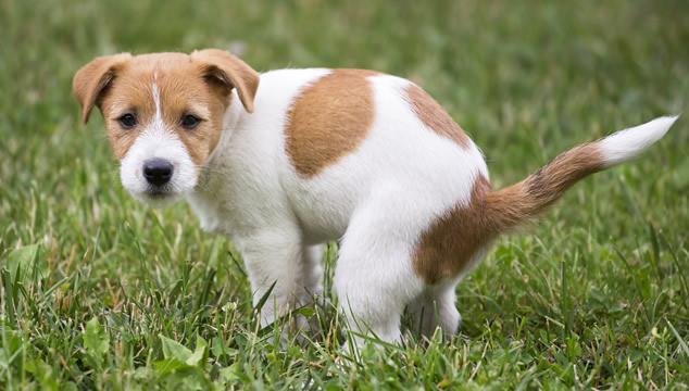 ¿Por qué algunos perros se comen sus heces?