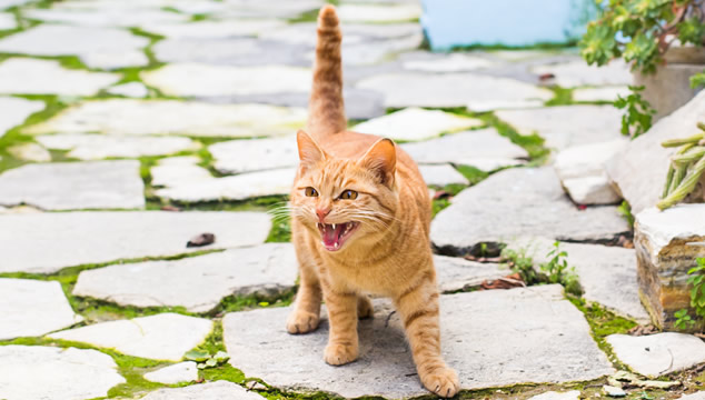 ¿Por qué maúllan tanto algunos gatos?