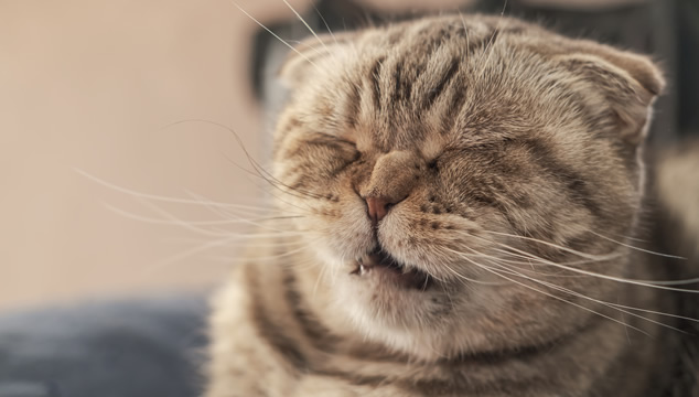 Gato estornudando