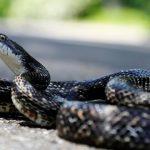 ¿Por qué las serpientes mudan de piel?