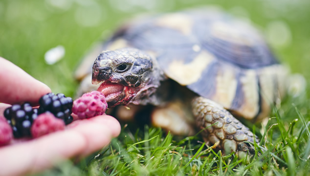 ¿Por qué las tortugas son buenas mascotas?